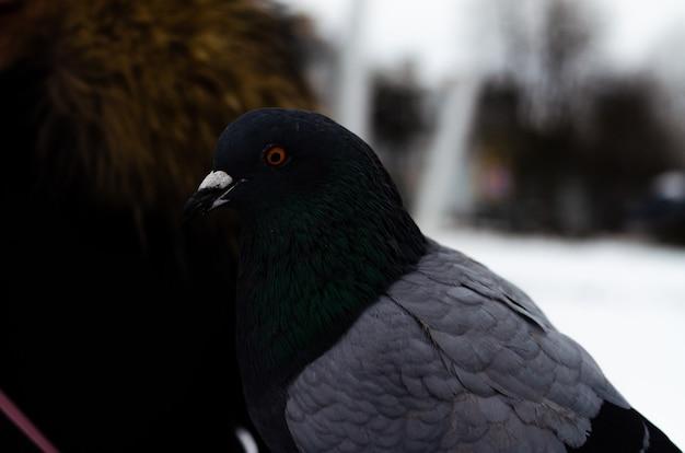 Muitos pombos. pombos em um monte e um de cada vez. alimentando os pombos. aves no inverno. macro de pombo, pata vermelha, perna de pombo. um homem segura uma pomba na mão. pássaro comendo com a mão