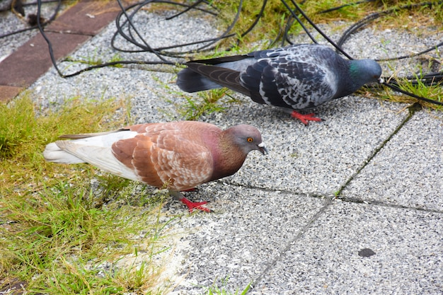 Muitos pombos se senta na rua (columba livia domestica)