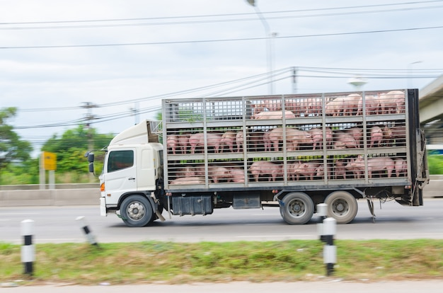 Muitos porcos ficaram presos em caminhões que circulavam na estrada.