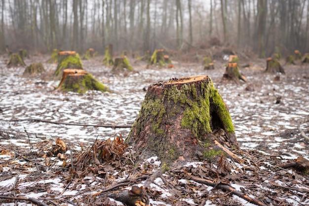 Muitos tocos de árvores cortadas na floresta
