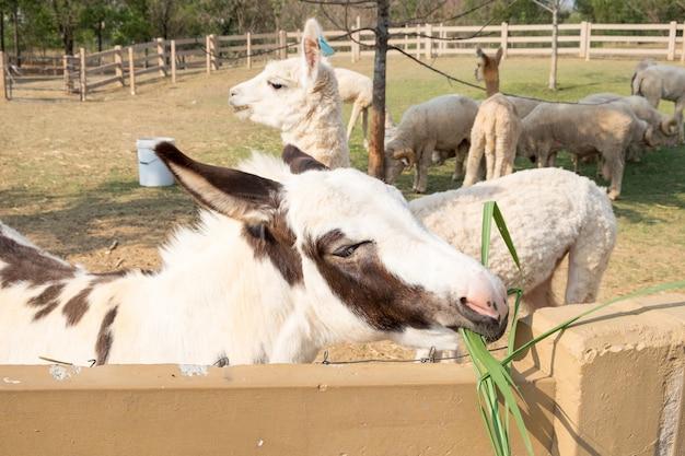 Mula branco marrom bonito comendo grama