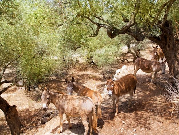 Mula de burro em s campo de oliveira mediterrânica de maiorca