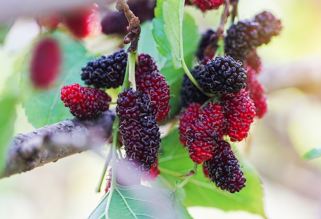 Mulberries na árvore