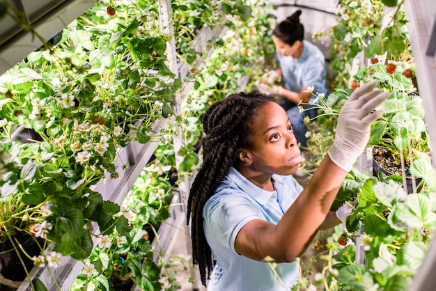 Mulher africana em luvas e roupas de trabalho procurando morangos maduros enquanto os apanha na estufa