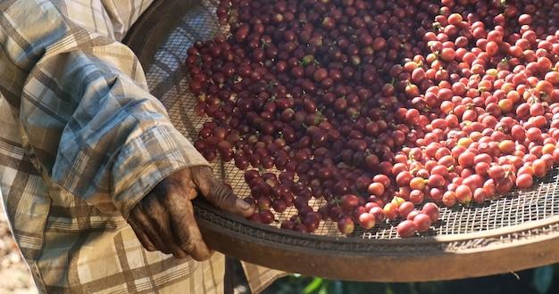 Mulher agricultora brasileira colhendo sementes de café vermelho na plantação de café.