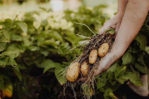 Mulher agricultora colhendo ou colhendo batatas frescas em uma horta orgânica, conceito de jardinagem
