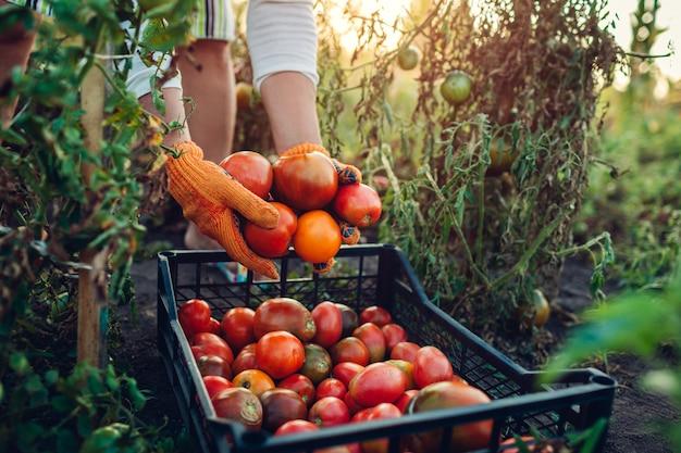 Mulher agricultora colocando tomates em caixa na fazenda eco. coleta de outono colheita de legumes. agricultura, jardinagem