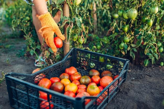 Mulher agricultora colocando tomates em caixa na fazenda eco, reunindo colheita de outono de legumes, jardinagem