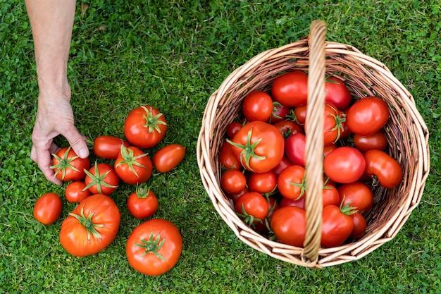 Mulher agricultora com as mãos segurando tomates maduros colhidos, cesta com tomates recém-colhidos na grama