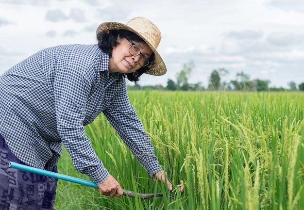 Mulher agricultora sênior com arroz em casca de foice na fazenda