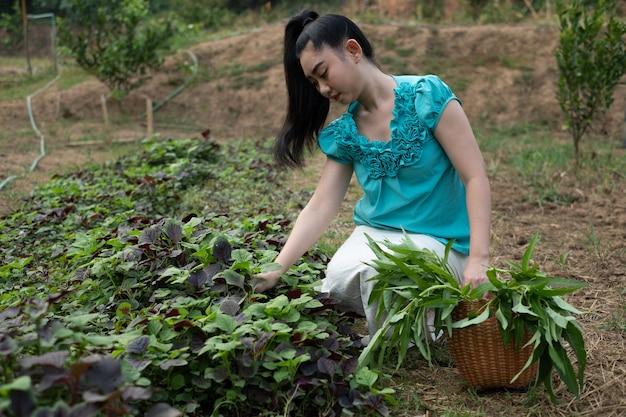 Mulher asiática com uma cesta com vegetais de espinafre colhidos na hora em jardins