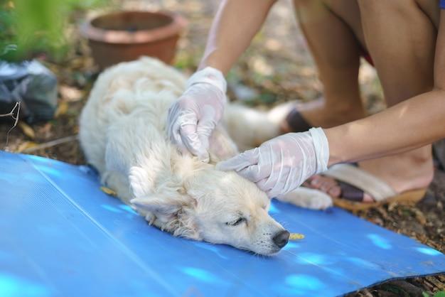 Mulher asiática encontrar carrapato no cão à mão