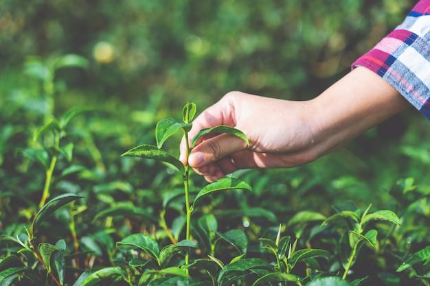 Mulher asiática mão pegando as folhas de chá da plantação de chá, os novos brotos