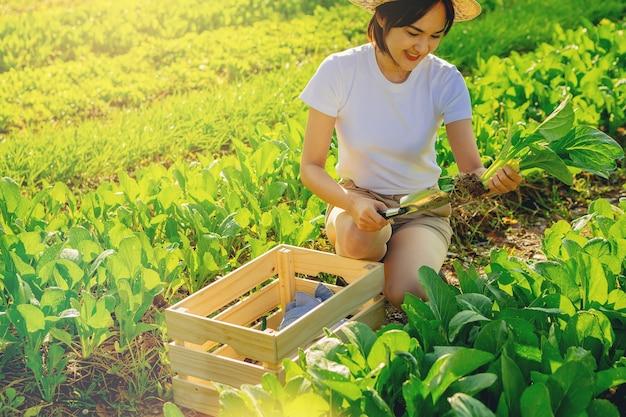 Mulher atraente agricultora colhendo vegetais orgânicos para a cesta pela manhã