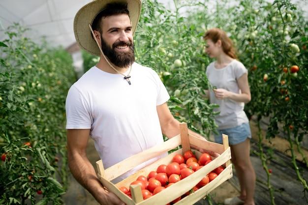 Mulher bonita e homem em planta de tomate na estufa