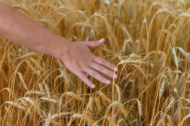 Mulher caminhando pelo campo e tocando trigo maduro mão tocando colheitas no campo close-up