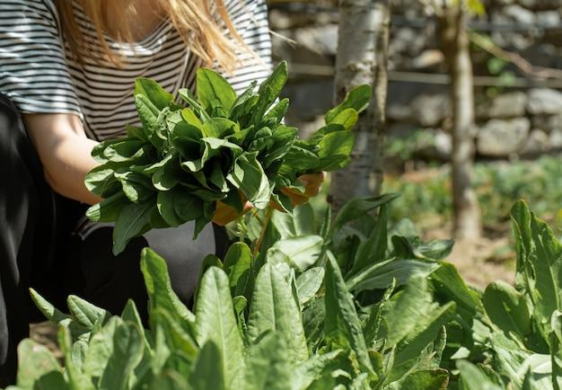 Mulher colhe folhas de alface na horta.