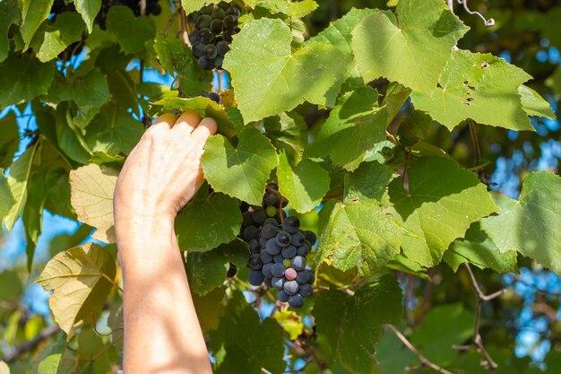 Mulher colhe uvas no outono maduras e suculentas uvas pretas na videira