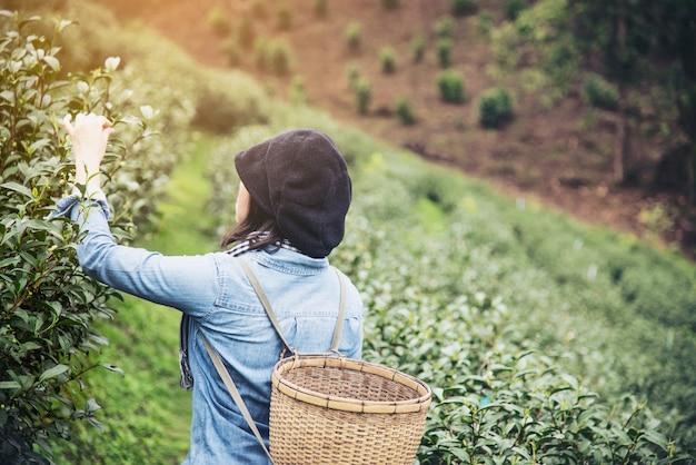 Mulher colheita / pegar folhas de chá verde fresco no campo de chá terra alta em chiang mai, tailândia