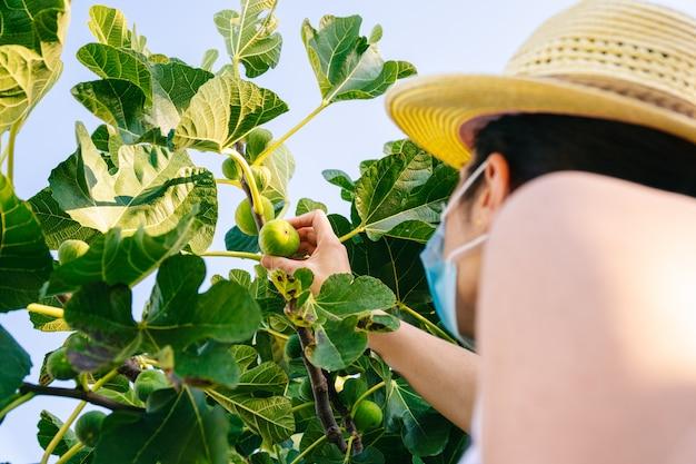 Mulher colhendo figos da árvore