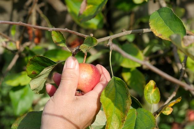 Mulher colhendo maçãs no pomar