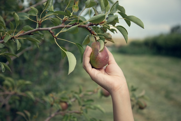 Mulher colhendo peras de uma árvore no jardim