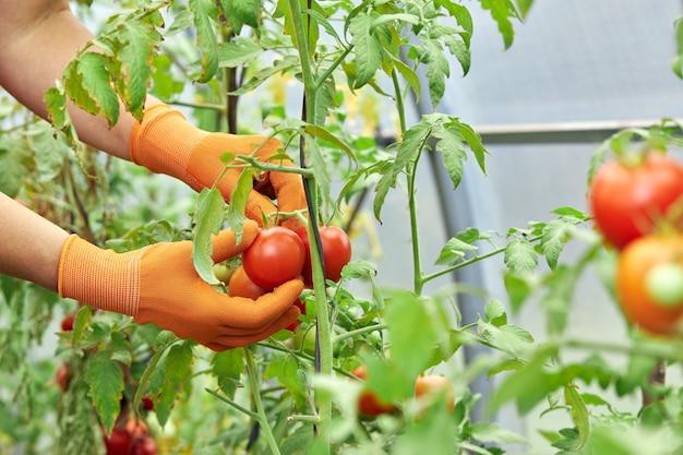 Mulher colhendo tomates orgânicos