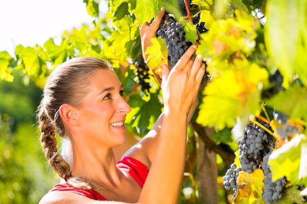Mulher colhendo uvas com cisalhamento na época da colheita