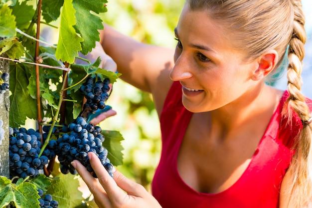 Mulher colhendo uvas na época da colheita