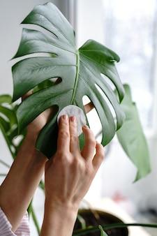Mulher com as mãos limpando a poeira das folhas da planta, cuidando da planta monstera com um algodão