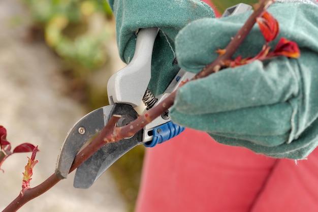 Mulher corta as árvores de rosas na primavera