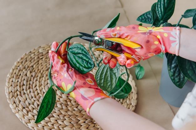 Mulher cuidando de plantas domésticas, poda de galhos com tesouras de podar, tesouras de jardim em luvas cor de rosa com flores.