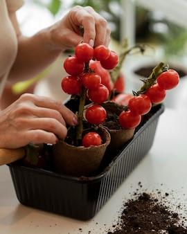 Mulher cuidando de um tomateiro interno