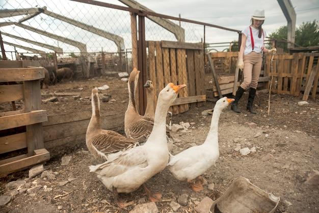 Mulher, cuidando, gansos, agricultor