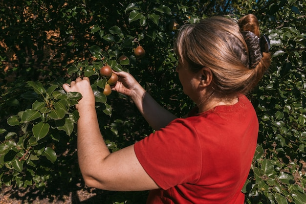 Mulher de camiseta vermelha colhendo pêra madura de um galho de árvore no jardim de verão