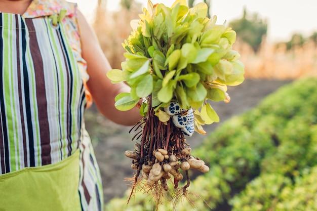 Mulher de fazendeiro escolher amendoins. colheita de outono. agricultura e jardinagem. comida orgânica