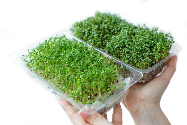 Mulher detém e cuida de brotos de plantas micro verdes em uma caixa de plástico, mãos close-up, isolado
