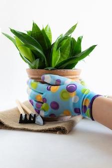 Mulher em luvas brilhantes, segurando o pote com shake planta ou sansevieria trifasciata em branco