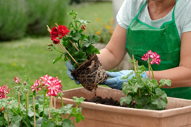 Mulher envasamento gerânio flores