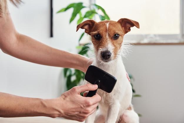 Mulher escovando dono de cachorro penteando jack russell terrier pet