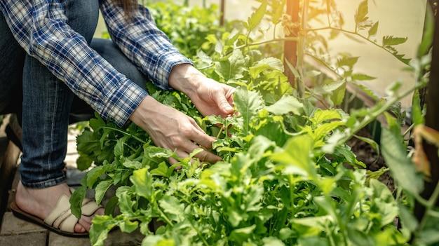 Mulher está colhendo uma rúcula verde orgânica saudável em uma estufa. conceito de jardinagem e cultivo de alimentos frescos saudáveis