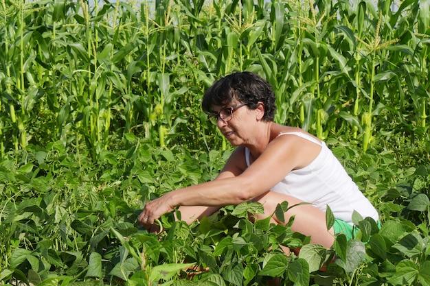 Mulher está pegando feijão verde no jardim