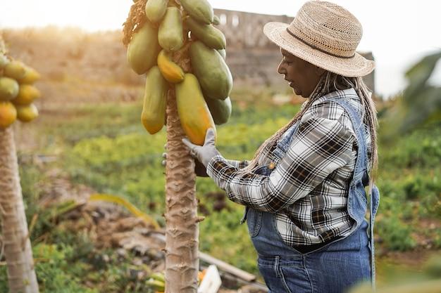 Mulher fazendeira africana sênior trabalhando no jardim enquanto apanha mamão - foco no chapéu