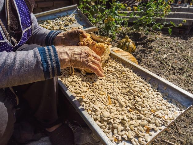 Mulher idosa coleta sementes de abóbora manualmente