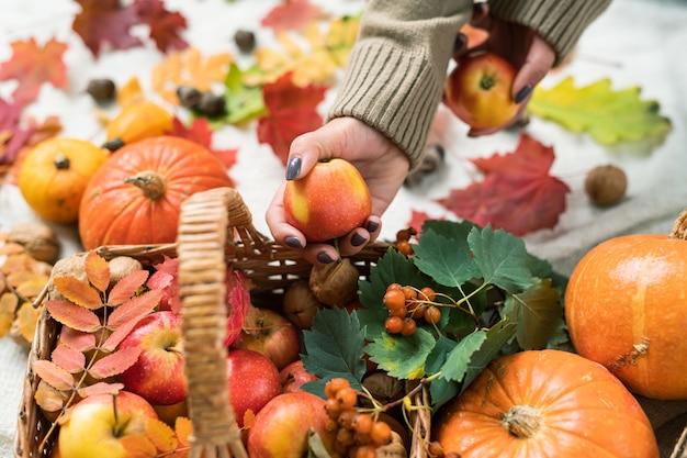 Mulher jovem com suéter pegando maçã madura da cesta com abóboras e cachos de espinheiro com frutas