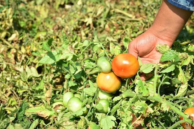 Mulher jovem feliz colhendo ou examinando tomates frescos em uma fazenda ou campo orgânico