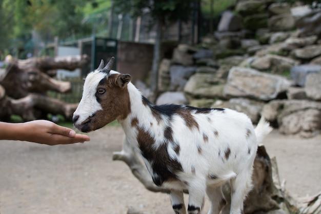 Mulher, mão, alimento, um, cabra, ligado, um, vida selvagem, parque