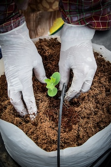 Mulher mão semear mudas de melancia em estufa.