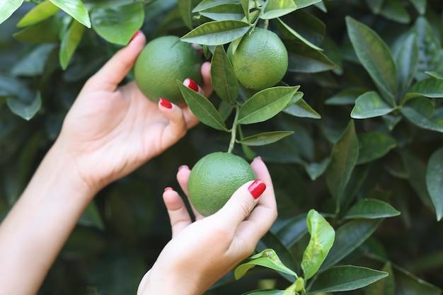 Mulher no jardim com laranjas verdes em árvores frescas com tangerinas no conceito de jardim