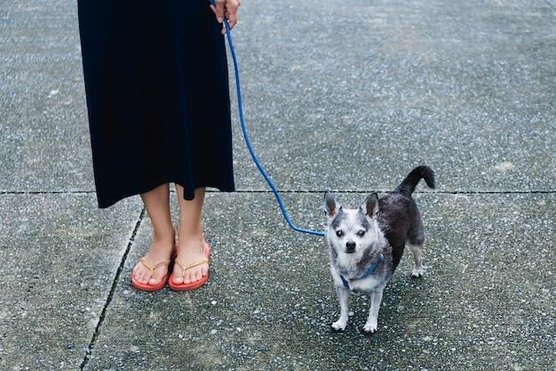 Mulher passeando com um cachorrinho chihuahua na rua ao ar livre